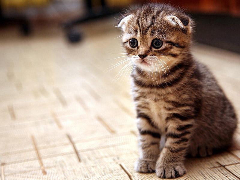 Кошеня висловухого кота