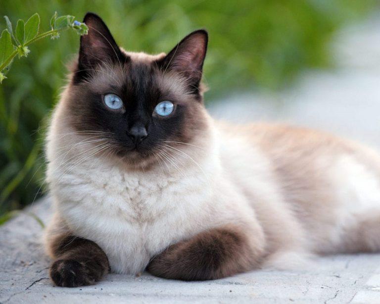 Як довго живут породисті коти