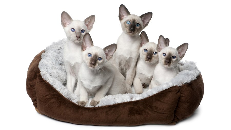 Сіамські кошенята фото