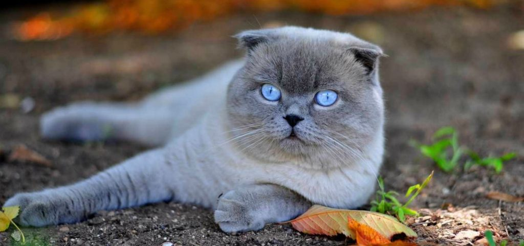Кіт висловухий с голубили очима