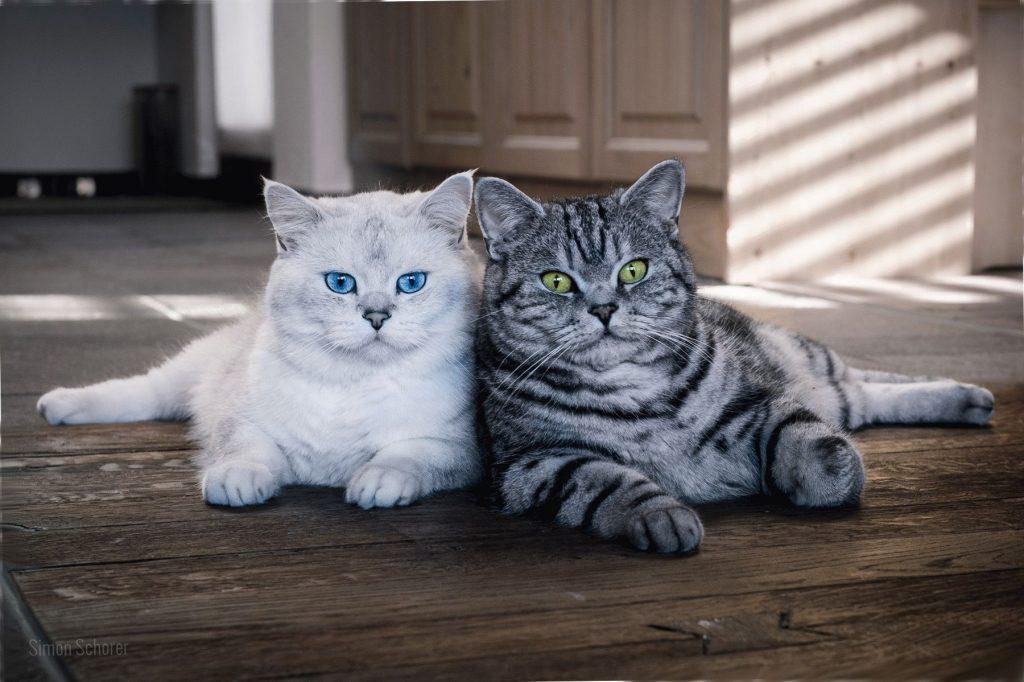 Характер британського кота
