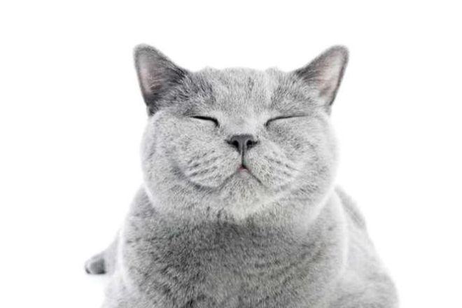 Сірий кіт британський