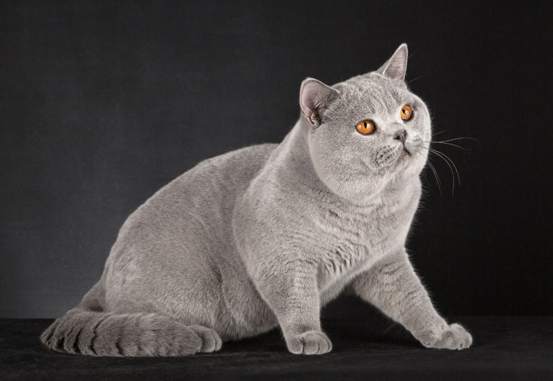 Великий сірий британський кіт